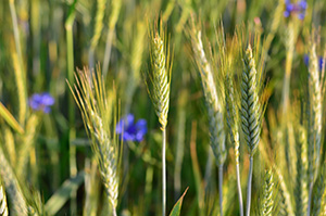 Divine Rye't Pono Beer, Rye field with blue cornflowers close-up