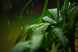 Tropical Thunder - image of rain on a tropical plant