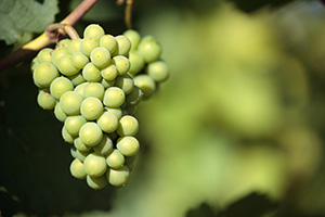 Ubas Pono Beer, image of white grapes